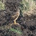 Montagu's Harrier (Circus pygargus), adult female