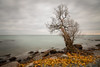 all that remains (Marc McDermott) Tags: lone tree lakeontario canada shore beach longexposure water sky clouds overcast fall autumn leaves fallen rocks still tranquil roots exposed yellow maple change season