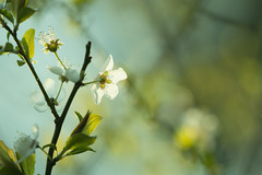 Give me a simple blossom (alideniese) Tags: flower flora blossom prunus nature cherryblossom 7dwf alideniese light sunset sunlight backlit bokeh closeup bright colourful colours blue green white evening dusk branches leaves focus tree