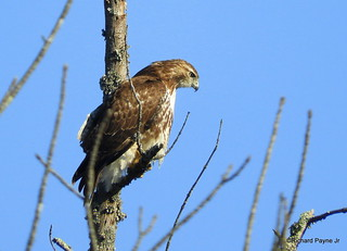 Red-tailed Hawk_N9110