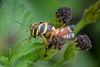 Juvenile Aztec Spur-throat Grasshopper (jciv) Tags: file:name=dsc05176 grasshopper aztecspurthroat