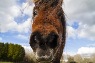 Miniature pony looking at me