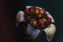 Rose verblüht (markuskuntz) Tags: blumen flowers verblüht