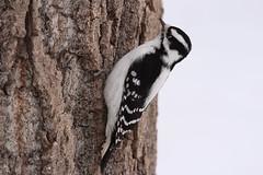 Downy woodpecker (Picoides pubescens) female (octothorpe enthusiast) Tags: saskatoon saskatchewan urban bird downywoodpecker picoidespubescens