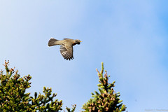 Merle d'amérique / American Robin (rejeanjdeschenes) Tags: automne chasse merledamériqueamericanrobin montlouis