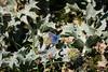 Argus et panicaut (Pauline Moinereau) Tags: argusbleu lepidoptera lycaenidae papillon gossamerwinged panicautmaritime lycénidé lépidoptère polyommatinae rhopalocères butterfly eryngiummaritimum seaholly