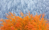 Frost & Fire (Ania Tuzel Photography) Tags: canon5dmark4 400mm fire frost change grandteton autumn snow beautyinnature transition coldtemperature grandtetonnationalpark jacksonhole leaf nature photography plantpart scenicsnature tranquility usa winter wyoming abstract contrast