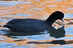 _W4A1071 Eurasian Coot (Fulica atra) (ajmatthehiddenhouse) Tags: kent uk 2016 kearsneyabbey bird fulica atra fulicaatra eurasiancoot coot kearsneyabbeygardens river