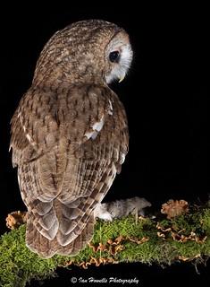 Tawny owl and prey