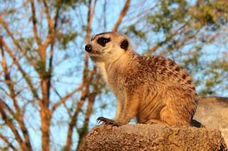 Suricata- Meerkat, suricate