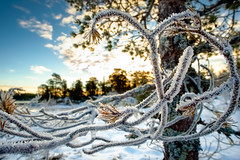 Frosty (burgerno) Tags: winter frost cold tree branches sunrise fujifilmxt1 fujifilm fuji xt1 samyang12mmncscs samyang wideangle landscape ice bymarka trondheim norway norge norja