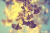 (Monica Muzzioli) Tags: nature tree ginkgo leaves yellow bokeh dof autumn fall autunno giallo blue focus blur