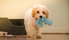Puppy (Lowe_Matthew) Tags: puppy dog animal pet cute toy walking fluffy cavapoo cavadoo cavalier spaniel poodle play treat