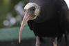 geronticus (Francesco Chiarandini) Tags: italy geronticus bird fagagna udine creep stare gaze skin deadly cute