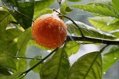 Mandarin tree in heavy rain (zeev777) Tags: rain tree mandarin lemon raindrops