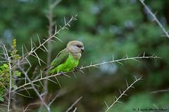Brown-headed Parrot (leendert3) Tags: leonmolenaar wildlife nature southafrica krugernationalpark brownheadedparrot ngc sunrays5 npc coth5