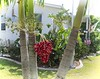 Christmas Palm (LarryJay99 ) Tags: hibiscus flowers blooms greenery floridabeaches nature christmas palm christmaspalm red berries reds