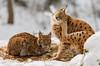 Luchs / Lynx (jandia68) Tags: luchs lynx animal animals nature natur naturepics wild wildlife nationalpark bavaria cat cats