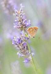 Sweetest dreams of watercolors (Bai R.) Tags: butterfly lavender watercolor pastel bug romantic nikon nikkor105mmf28gvrmicro garden colors green gardenadventures