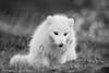 Artic Fox - Svalbard 21.09.17-03.10.17-63 (Zena Saunders) Tags: articfox winter coat wintercoat svalbard 2017 wild blackwhite blackandwhite