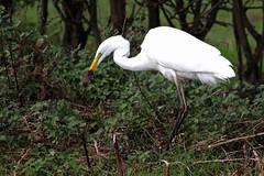 Great White Egret, Dalton (JR Studio) Tags: ardeaalba greatwhiteegret egret heron rare dalton topcliffe thirsk northyorkshire bird