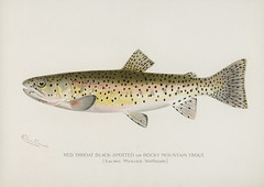 Red Throat Black Spotted or Rocky Mountain Trout (Salmo Mykiss Walbaum); illustrated by Sherman Foote Denton (1856-1937)  from Game Birds and Fishes of North America (1913). Denton was a talented artist, naturalist, scientist and entrepreneur. His superb (Free Public Domain Illustrations by rawpixel) Tags: fishesofnorthamerica gamebirdsandfishesofnorthamerica otherkeywords redthroatblackspotted redthroatblackspottedorrockymountaintrout rockymountaintrout salmomykisswalbaum shermanfootedenton america drawing fishes northamerica trout