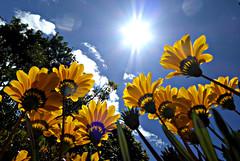 Let the Sunshine in (sallyNZ) Tags: letthesunshinein flickrfriday daisies garden yellow