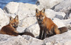 Kit and Kaboodle (marylee.agnew) Tags: red fox kits beauty summer rocks nature wildlife canine young brothers siblings