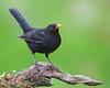 Blackbird (coopsphotomad) Tags: blackbird bird animal wildlife nature avian bokeh perch background outdoor woods canon