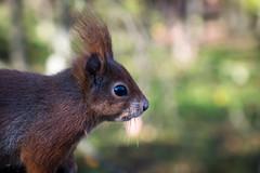 Tufty - Red squirrel (Ruth Flickr) Tags: britain britishwildlifecentre england europe surrey uk wcc animals captive closeup critters mammals redsquirrel sciurusvulgaris squirrel