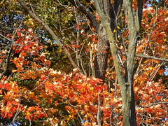 Maryland Autumn Scene. (dccradio) Tags: mountairy mtairy md maryland outdoors outside tree trees foliage autumn harvest fall fallcolor coloredleaves leaf leaves branches treebranches treelimbs sky bluesky nature natural nikon coolpix l340 bridgecamera