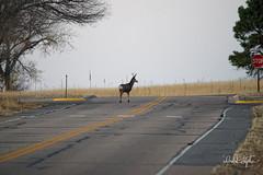 Young Buck Observes Stop Sign (dcstep) Tags: dsc4976dxo cherrycreekstatepark colorado usa aurora sonya9 fe100400mmf4556gmoss fe14xteleconverter allrightsreserved copyright2017davidcstephens dxophotolab101 nature urban wild urbannature wildlife