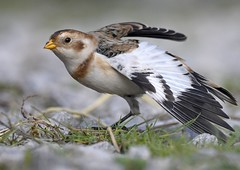 Snow Bunting (Carl Bovis Nature Photography) Tags: snowbunting bunting bird bbcspringwatch birds autumnwatch autumn beautiful beauty wings wing wingstretch nature nikon nikond500 naturallight natural somerset springwatch sigma sigma150600 sigma150600c sigma150600mmc sweet cute colour carlbovis cuteness carlbovisnaturephotography wwtsteartmarshes wwt winterwatch wildlife rspb steartmarshes steart portrait naturereserve england uk