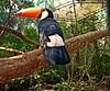 Un poco de color (Aprehendiz-Ana Lía) Tags: color brasil argentina nikon selva reserva luz alegría vacaciones tucán airelibre naturaleza nature analialarroude imagen oiseau uccello bird