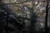 De la puissance des arbres... (Isabelle Aurore) Tags: bretagne brittany finistère stangala arbre tree forest forêt automne brume landscape france bois woods