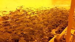 20150406_082027 (CannaPsy) Tags: hydroponics flood drain indoor medical cannabis marijuana weed horticulture high pressure sodium hps og