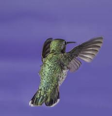 Flying The Blue Skies (Bill Gracey 16 Million Views) Tags: bird bif birdinflight paintedbackdrop offcameraflash yongnuo yongnuorf603n set nature naturalbeauty color colorful hummingbirdphotography bareflash poway thehummingbirdguide hummer annashummingbird calypteanna