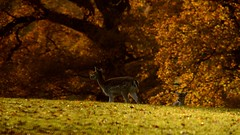 Time for breakfast (smcnally24601) Tags: deer surrey morning autumn fall nature sunny england english britain british