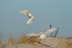 2 snow owls (johnbacaring) Tags: snowy snowyowl owl wildlife raptor