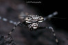 Gyromantis kraussi (Spiny Bark Mantis) (lorenzobertola) Tags: spiny bark mantis macro mantoidea gyromantis kraussi australia entomology bug mantids mantid