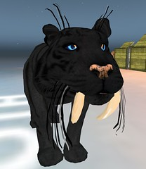 WK Wild Kajaera Eclispe Eye on Darkness Fur with Sabertooth Tiger (Beautiful Braveheart) Tags: wkwildkajaera wildkajaera wkcats wildkajaerasecondlife darkness eclipseeye solareclipseeye sabertooth tiger cat pet breedable bigcat beautifulbraveheart bigcats
