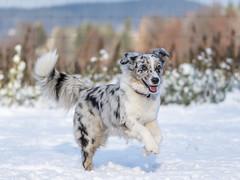 Fly being happy (A.Bruhin) Tags: uster zürich schweiz ch blue merle dog aussie australian shepherd outdoor snow running jumping happy dogschool nikon d500 105mm 28