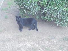 441 (en-ri) Tags: gatto nero randagio sony sonysti black stray cat miao cespuglio