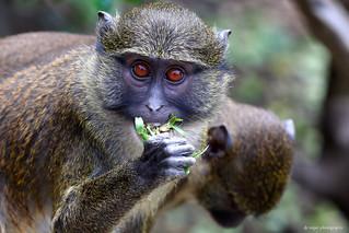 Allen's swamp monkeys