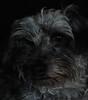 Lovable (John Neziol) Tags: jrneziolphotography nikon nikondslr nikoncamera nikond80 naturallight petphotography pet petphotographer portrait interestingdogposes dog dognose animalphotography animal mammal lowkey schnauzer brantford beautiful closeup cute