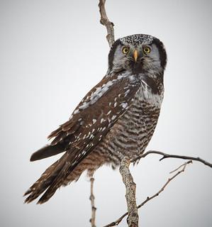 Hawk Owl 2017_291
