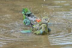 Red-rumped Parrots bathing_9861E (Psephotus haematonotus) (Neil H Mansfield) Tags: coth rump parrot red victoria balyang water bath psephotushaematonotus redrumpedparrot nature native