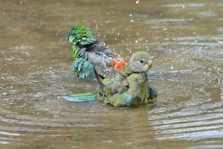 Red-rumped Parrots bathing_9861E (Psephotus haematonotus)