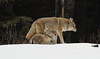 Coyotes  4401 (robenglish64) Tags: coyotes