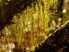..and through the curtain.. (dawn.tranter) Tags: dawntranter bokeh light sunlight backlit lichen beard